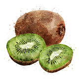 Kiwi on white background. Watercolor illustration