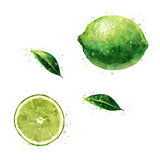 Lime on white background. Watercolor illustration