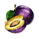 Plum on white background. Watercolor illustration