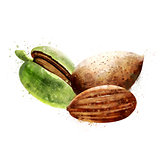 Almond on white background. Watercolor illustration