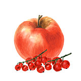 Botanical watercolor illustration sketch of apple and red currant on white background