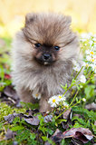 pomeranian dog puppy outside