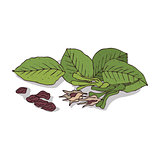 Isolated clipart Shorea robusta