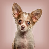 Chihuahua in portrait, looking alert against beige background
