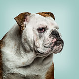 English Bulldog looking at camera, against green background