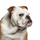 English Bulldog portrait against white background