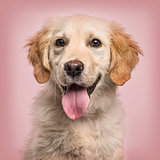 Close-up of Golden Retriever panting to camera against pink back