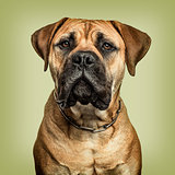 Close-up of Bullmastiff looking to camera against green backgrou