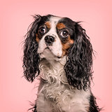 Cavalier King Charles Spaniel looking at camera against pink bac