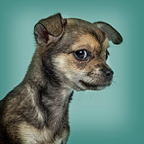 Chihuahua puppy against turquoise background