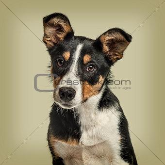 Australian Shepherd dog against green background