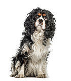 Cavalier King Charles Spaniel sitting against white background