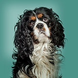 Close-up of Cavalier King Charles Spaniel against green backgrou