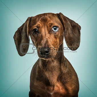 Dachshund with Heterochromia against turquoise background