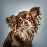 Continental Toy Spaniel portrait against grey background