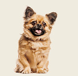 Mixed breed dog panting against beige background