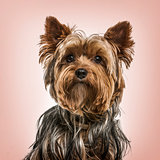 Yorkshire terrier portrait against pink background