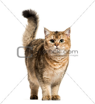 British Shorthair cat against white background