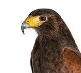 Profile of Harris's hawk, Parabuteo unicinctus, against white ba