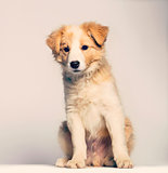 Border Collie puppy sitting against beige background
