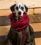 Dalmatian wrapped in scarf and coat in front of wooden backgroun
