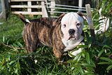 American Bulldog puppy on nature