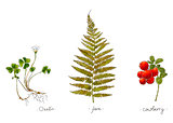 Wild plants hand drawn in color. Oxalis, fern and cowberry. Herbal vector illustration.