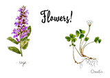 Wild plants and flowers hand drawn in color. Oxalis and sage. Herbal vector illustration.