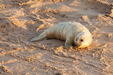 Baby newborn seal pup on the beach