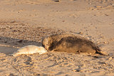 Mother seal and baby seal pup waking on beach