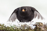Blackbird close up landing in winter
