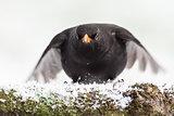 Blackbird close up landing in winter