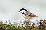 Coal tit wild bird on snowy log