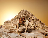 Camel in sandy desert
