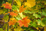 Beautiful colored maple leaves