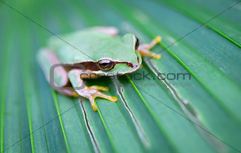 Masked treefrog in Costa Rica