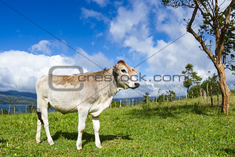 dairy cow in a pasture