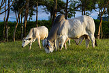 brahman cattle - Bos Indicus
