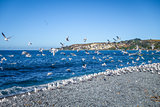 Seagulls on Kaikoura beach, New Zealand