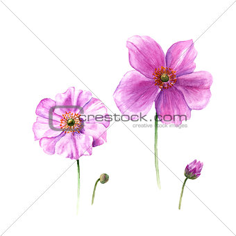 Watercolor anemone flowers and buds. Hand drawn single flower isolated on white background. Botany illustration