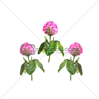 Watercolor illustration of clover flower on white