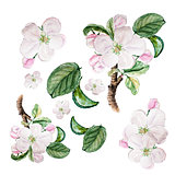 Botanical watercolor illustration sketch set of apple blossom on white background