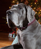 Christmas Great Dane