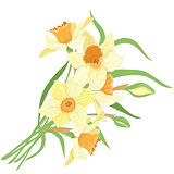 Bouquet narcissus isolated vector clipart illustration of spring narcissus flowers