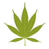 Leaf of marijuana - cannabis on white background