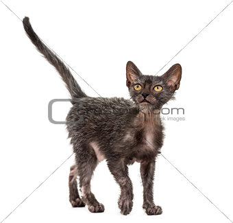 Kitten Lykoi cat, 3 months old, also called the Werewolf cat loo