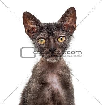 Kitten Lykoi cat, 3 months old, also called the Werewolf cat aga
