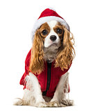 Cavalier King Charles Spaniel in Santa dog coat against white ba