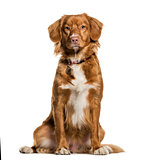 Nova Scotia Duck Tolling Retriever sitting against white backgro