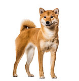 Shiba Inu standing against white background